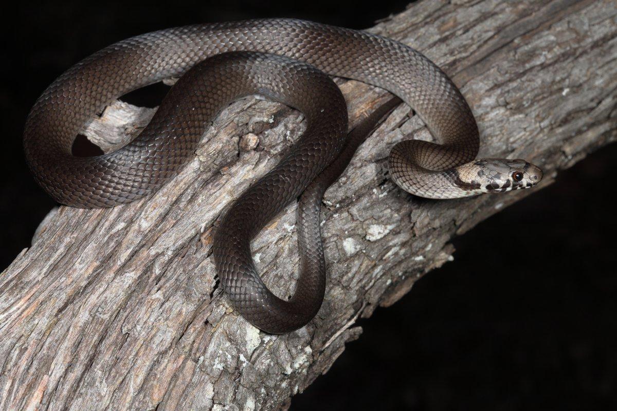 kígyó látása a látásnak megfelelően)